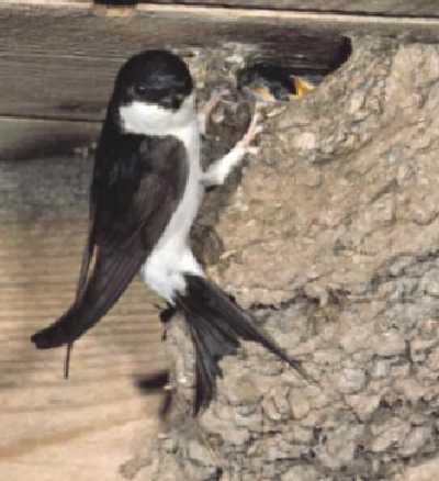 huiszwaluw aan nest